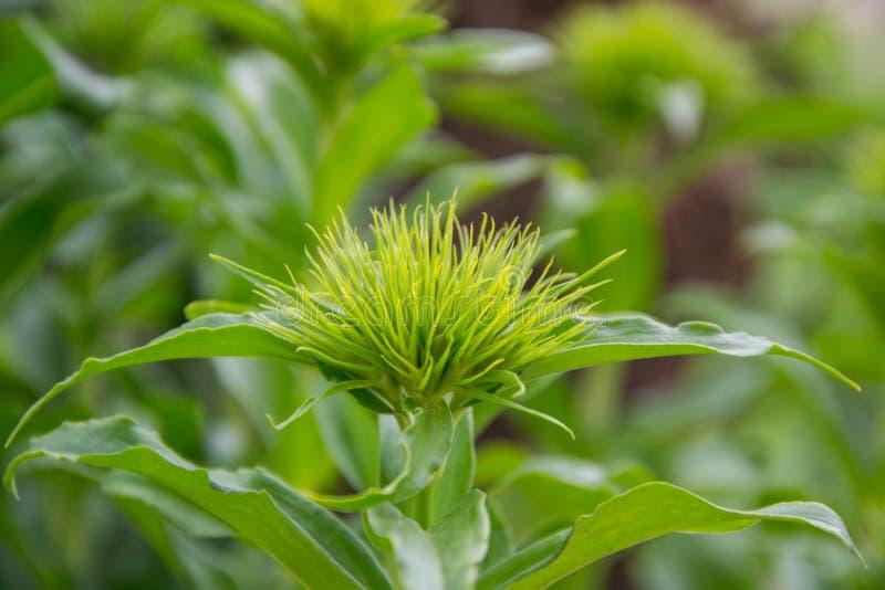 Τα λουλούδια barbatus Dianthus που αρχίζουν να ανθίζουν, πράσινο λουλούδι βλαστάνουν με τα αιχμηρά λεπτά φύλλα, κήπος άνοιξης - γ στοκ εικόνα με δικαίωμα ελεύθερης χρήσης