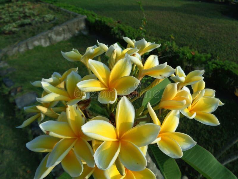 Τα λουλούδια Frangipani φαίνονται φωτεινά στην ημέρα στοκ φωτογραφία
