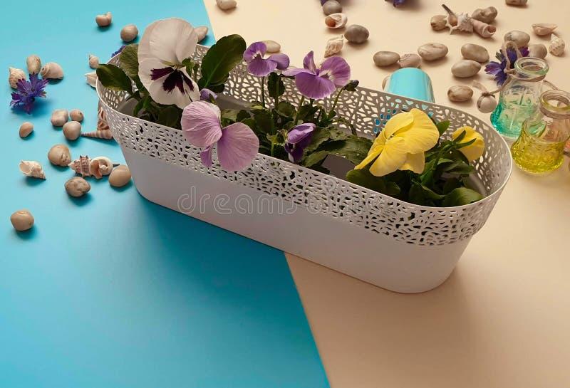 Τα λουλούδια Pansies πέτρες μιας στις εποχιακές λουλουδιών δοχείων λουλουδιών κοχυλιών θάλασσας ποτίζουν το ΛΦ κηπουρικής θερινών στοκ φωτογραφίες με δικαίωμα ελεύθερης χρήσης