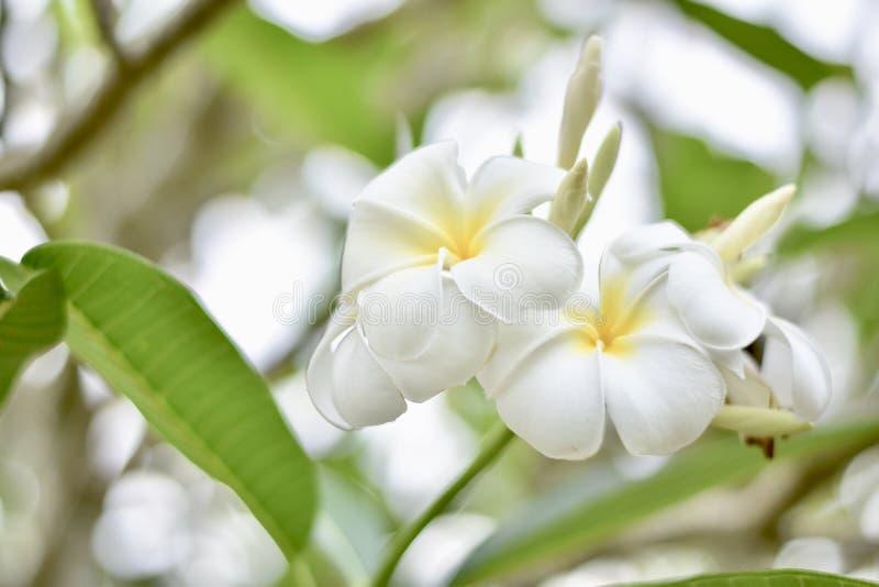 Τα λουλούδια Plumeria λαμβάνουν το φως το πρωί στοκ εικόνες