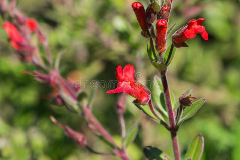 Τα λουλούδια speciosa του Μπους Snapdragon Gambelia νησιών, ξηρασία ανεκτική, εγγενείς εγκαταστάσεις Καλιφόρνιας, διακινδύνεψαν s στοκ φωτογραφίες με δικαίωμα ελεύθερης χρήσης