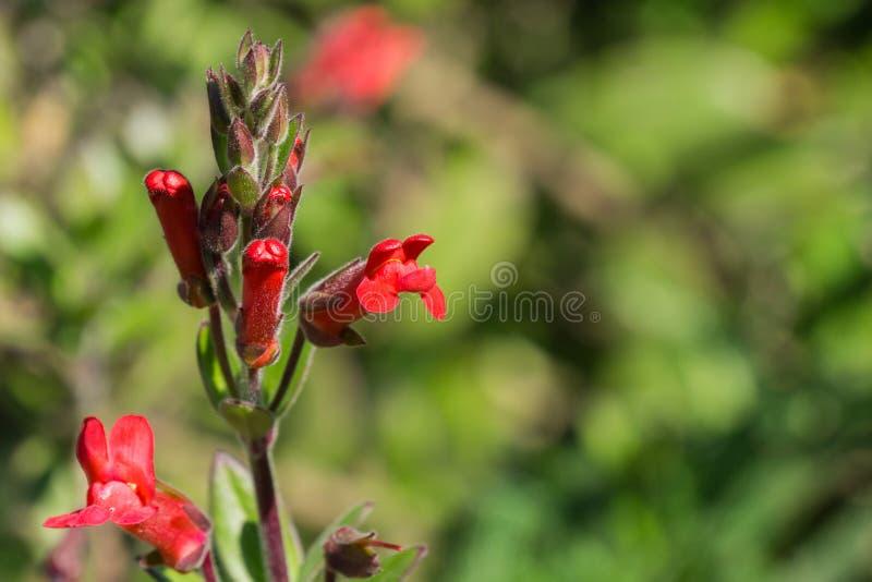 Τα λουλούδια speciosa του Μπους Snapdragon Gambelia νησιών, ξηρασία ανεκτική, εγγενείς εγκαταστάσεις Καλιφόρνιας, διακινδύνεψαν s στοκ φωτογραφία