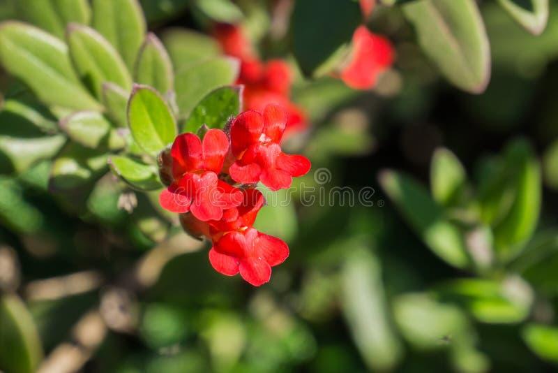 Τα λουλούδια speciosa του Μπους Snapdragon Gambelia νησιών, ξηρασία ανεκτική, εγγενείς εγκαταστάσεις Καλιφόρνιας, διακινδύνεψαν s στοκ εικόνες