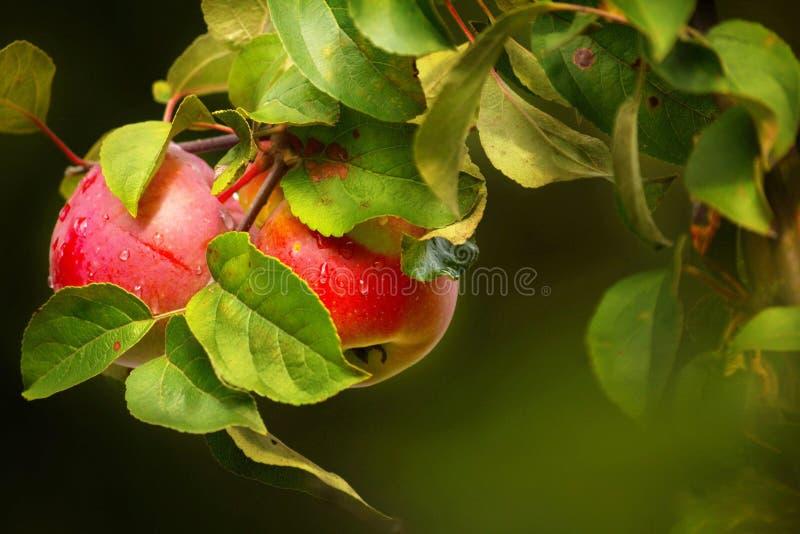 τα μήλα διακλαδίζονται ώρ&i στοκ εικόνες με δικαίωμα ελεύθερης χρήσης