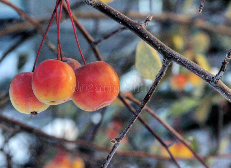τα μήλα καλλιεργούν μου στοκ εικόνες με δικαίωμα ελεύθερης χρήσης