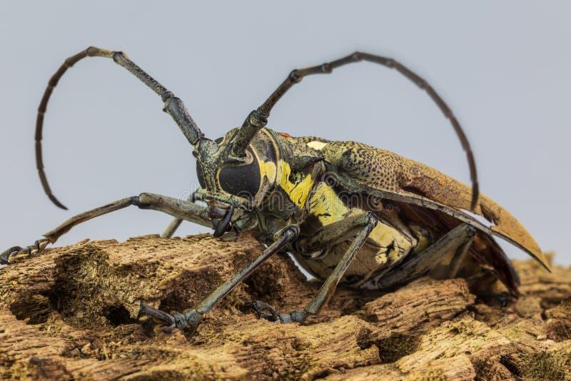 Τα μακριά έντομα hornets grasshopper στο φόρουμ στοκ φωτογραφίες