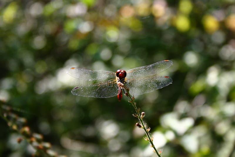 Τα μεγάλα διαφανή φτερά της κόκκινης λιβελλούλης στοκ φωτογραφίες με δικαίωμα ελεύθερης χρήσης