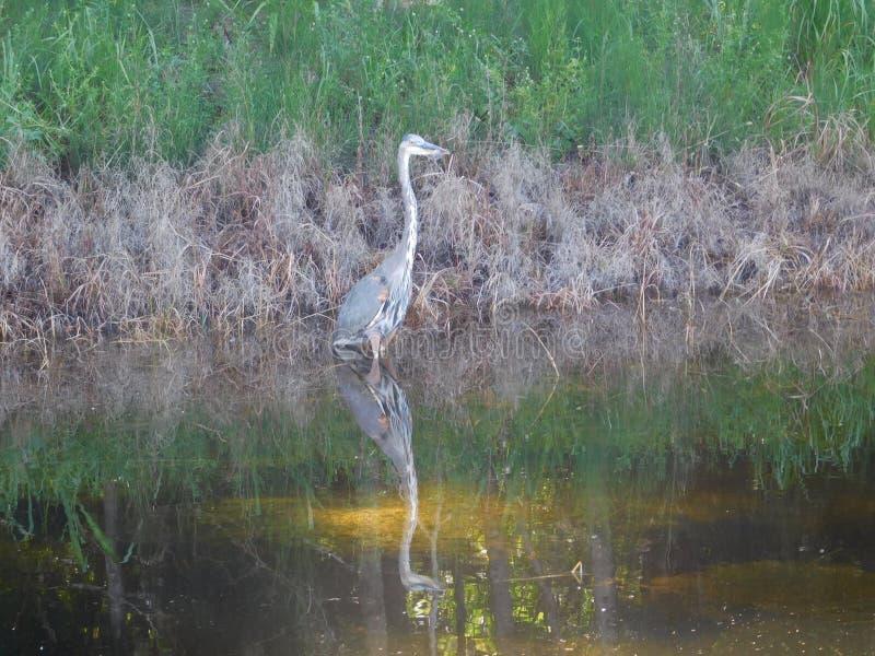 τα μεγάλα μπλε herodias Ardea ερωδιών είναι ένα μεγάλο wading πουλί στοκ φωτογραφία