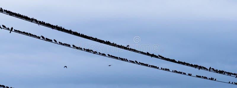 Τα μεγάλα πουλιά κοπαδιών συλλέγουν τα τηλεφωνικά ηλεκτρικά καλώδια βραδιού στοκ εικόνα με δικαίωμα ελεύθερης χρήσης