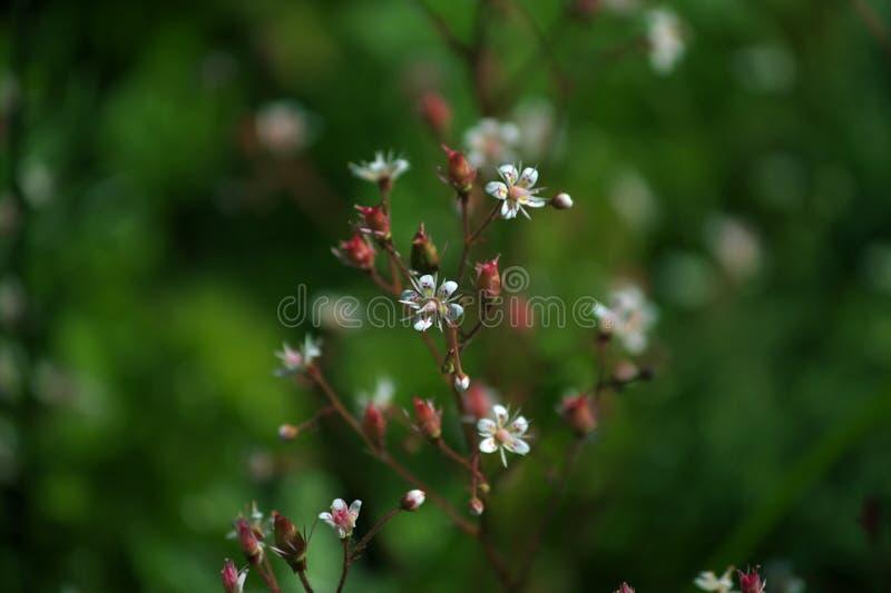 Τα μικρά άσπρα λουλούδια στο πράσινο υπόβαθρο στοκ εικόνες