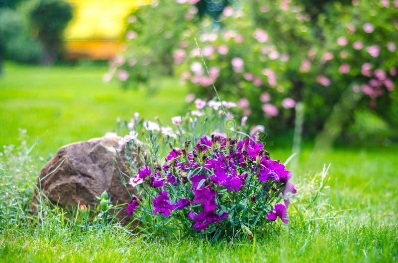 Τα μικρά πορφυρά γαρίφαλα στον κήπο στο κατώφλι στοκ εικόνες