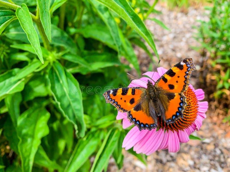 Τα μικρά urticae Aglais ταρταρουγών είναι μια ζωηρόχρωμη ευρασιατική πεταλούδα στην οικογένεια Nymphalidae στοκ φωτογραφία