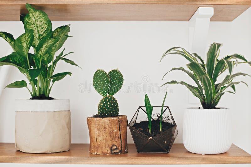 Τα μοντέρνα ξύλινα ράφια με τις σύγχρονες πράσινες εγκαταστάσεις και το άσπρο πότισμα μπορούν Κάκτος, Dieffenbachia, Dracaena, δο στοκ φωτογραφία με δικαίωμα ελεύθερης χρήσης