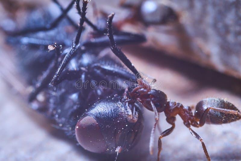 Τα μυρμήγκια επιτίθενται σε μια μύγα και προσπαθούν να την βάλουν στη μυρμηγκοφωλιά στοκ εικόνες