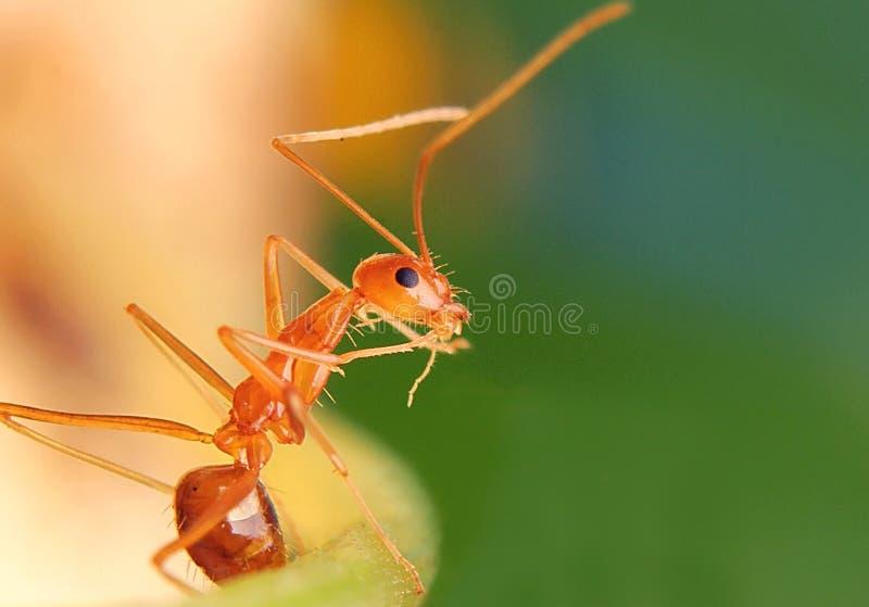 Τα μυρμήγκια θέτουν κοντά επάνω στοκ εικόνες