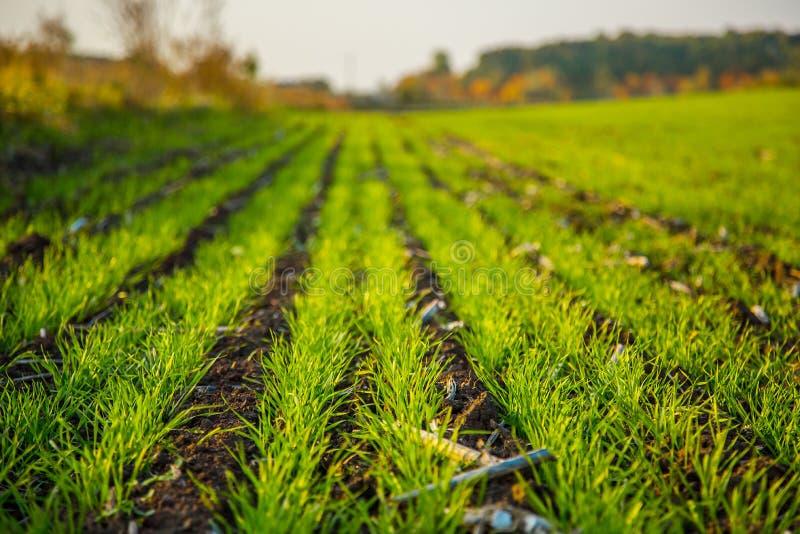 Τα νέα σπορόφυτα σίτου αυξάνονται σε έναν τομέα που αυξάνεται στο χώμα στοκ εικόνα