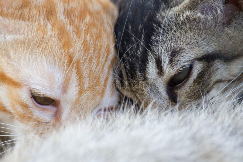 Τα νεογέννητα γατάκια πίνουν το γάλα από το στήθος της μητέρας στοκ εικόνα