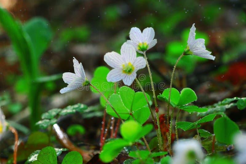 τα λουλούδια αναπηδούν τις άγρια περιοχές στοκ εικόνες