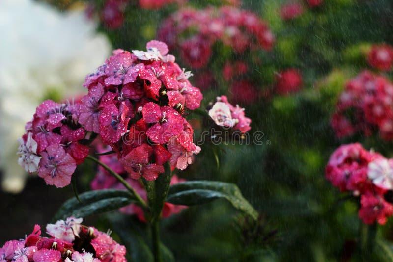 Τα λουλούδια είναι στη βροχή στοκ φωτογραφία με δικαίωμα ελεύθερης χρήσης