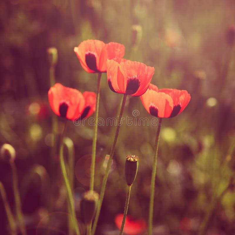 Τα λουλούδια παπαρουνών αναδρομικά κοιτάζουν στοκ φωτογραφίες