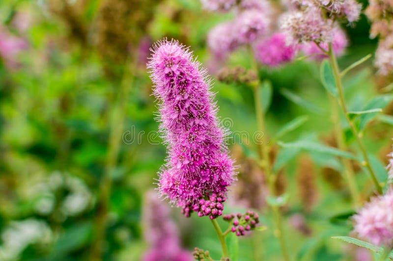 Τα λουλούδια - πορφυρό billardii spiraea στοκ φωτογραφίες