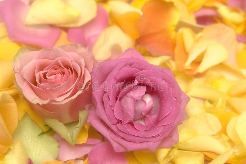 Download τα πέταλα αυξήθηκαν στοκ εικόνα. εικόνα από λουλούδια - 13189881