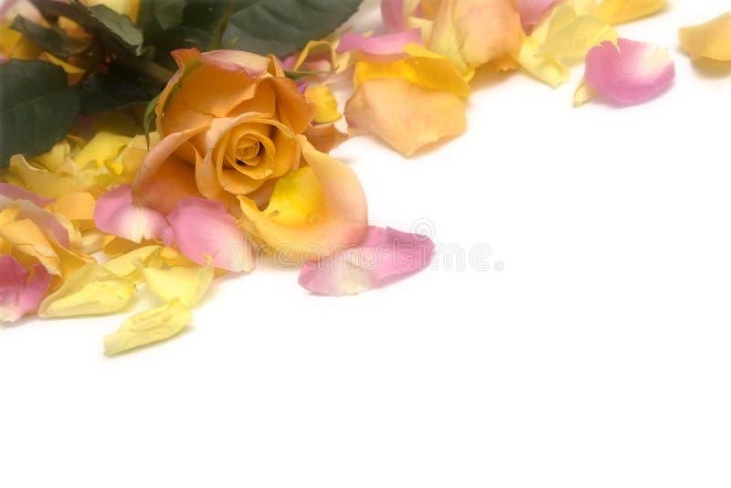 Download τα πέταλα αυξήθηκαν στοκ εικόνες. εικόνα από λουλούδι - 13189938