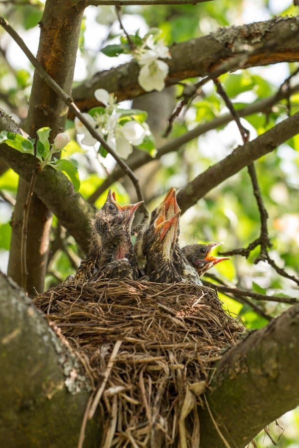 Τα πεινασμένα πουλιά μωρών σε μια φωλιά κλείνουν επάνω στοκ εικόνες με δικαίωμα ελεύθερης χρήσης