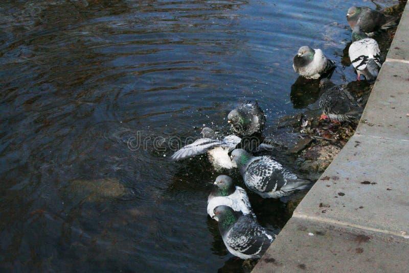 Τα περιστέρια λούζουν στη λίμνη στοκ φωτογραφίες με δικαίωμα ελεύθερης χρήσης