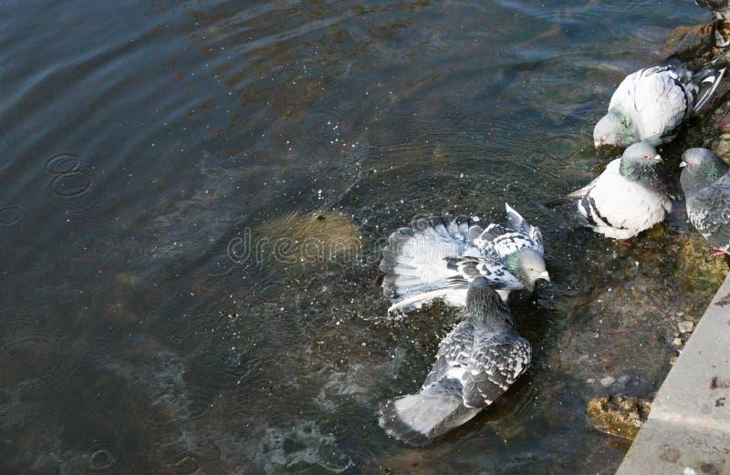 Τα περιστέρια λούζουν στη λίμνη στοκ φωτογραφία