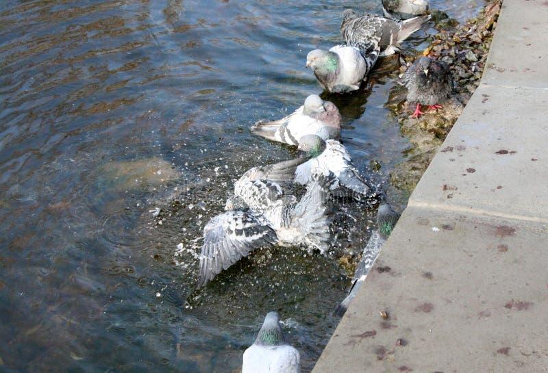 Τα περιστέρια λούζουν στη λίμνη στοκ εικόνες με δικαίωμα ελεύθερης χρήσης