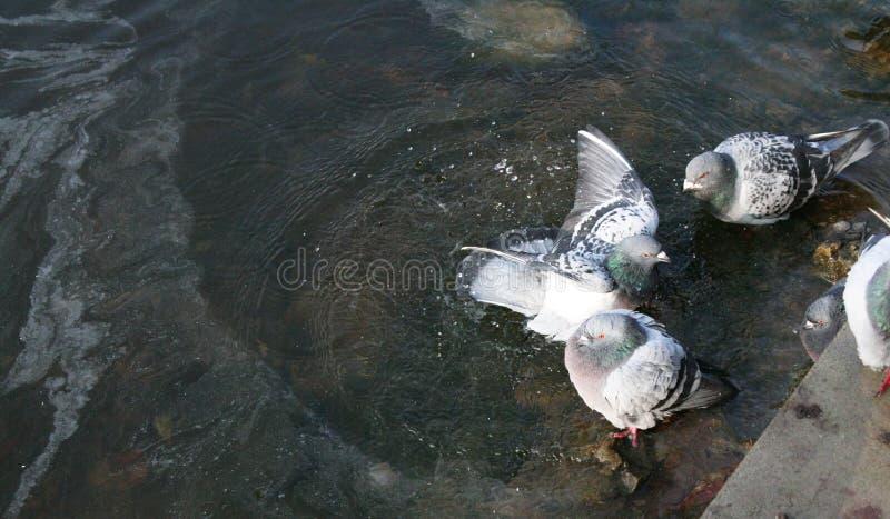 Τα περιστέρια λούζουν στη λίμνη στοκ φωτογραφίες
