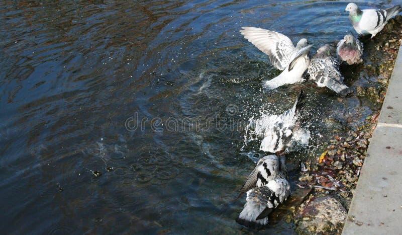 Τα περιστέρια λούζουν στη λίμνη στοκ φωτογραφία με δικαίωμα ελεύθερης χρήσης