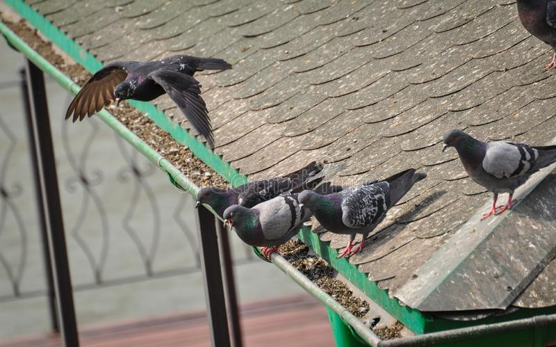 Τα περιστέρια στέκονται στη στέγη του σπιτιού στοκ εικόνα με δικαίωμα ελεύθερης χρήσης
