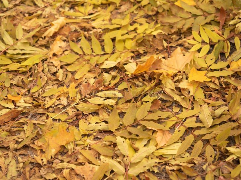 Τα πεσμένα κίτρινα φύλλα στο έδαφος του δάσους φθινοπώρου, κλείνουν επάνω την άποψη Φύλλωμα πτώσης στο ξύλο φθινοπώρου ζωηρόχρωμο στοκ εικόνα με δικαίωμα ελεύθερης χρήσης