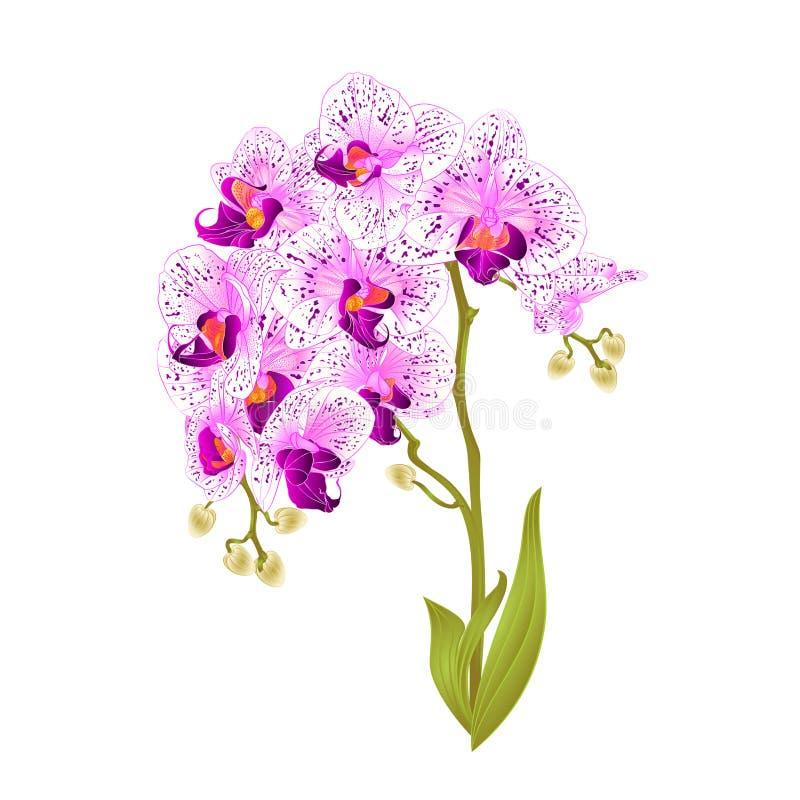 Τα πορφυρά και άσπρα λουλούδια Phalaenopsis ορχιδεών κλάδων και τα τροπικά φυτά φύλλων προέρχονται και οφθαλμοί σε έναν άσπρο τρύ ελεύθερη απεικόνιση δικαιώματος