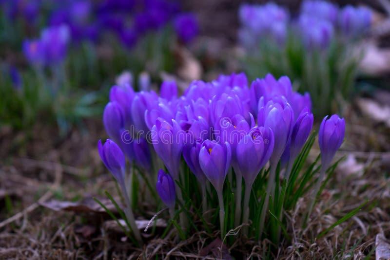 Τα πορφυρά λουλούδια είναι ανθίζοντας από το groud στην αρχή του s στοκ εικόνες