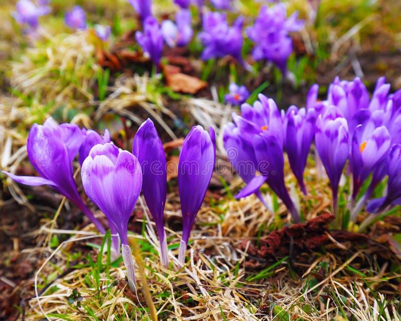 Τα πορφυρά λουλούδια κρόκων στο ξύπνημα χιονιού την άνοιξη στο θερμό πηγαίνουν στοκ φωτογραφίες με δικαίωμα ελεύθερης χρήσης