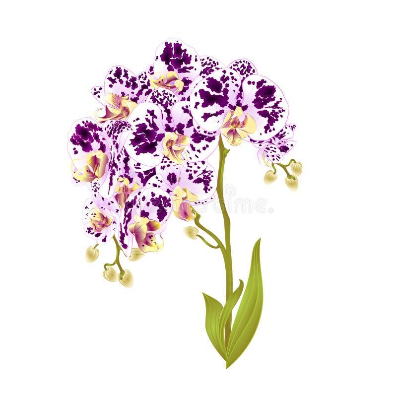 Τα πορφυρά λουλούδια Phalaenopsis ορχιδεών κλάδων και τα τροπικά φυτά φύλλων προέρχονται και οφθαλμοί σε ένα άσπρο εκλεκτής ποιότ διανυσματική απεικόνιση