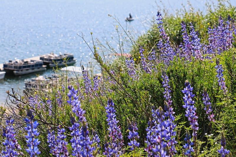 Τα πορφυρά wildflowers lupine καλύπτουν έναν λόφο κοντά σε μια λίμνη στοκ φωτογραφίες με δικαίωμα ελεύθερης χρήσης