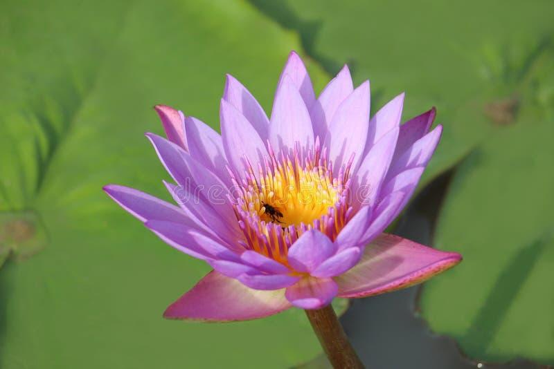 Τα πορφυρός-ρόδινα λουλούδια λωτού είναι ανθίζοντας στη λίμνη Η πλάτη έχει ένα όμορφο πράσινο φύλλο λωτού στοκ εικόνες με δικαίωμα ελεύθερης χρήσης