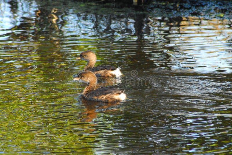 Τα ΠΟΥΛΙΑ κλείνουν επάνω δύο τη χαριτωμένη παρδαλή τιμολογημένη κολύμβηση Grebes στοκ φωτογραφίες με δικαίωμα ελεύθερης χρήσης