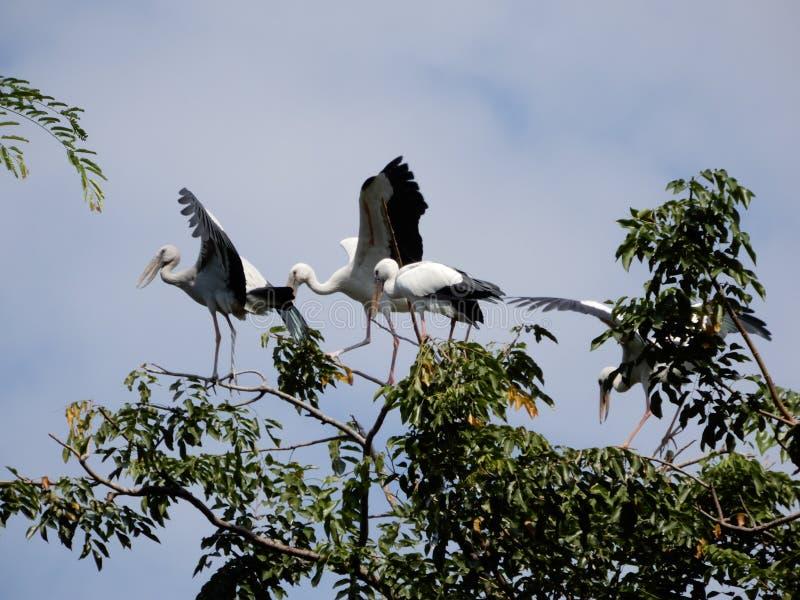 Τα πουλιά ομάδας ερωδιών ζουν στο δέντρο στοκ εικόνα με δικαίωμα ελεύθερης χρήσης