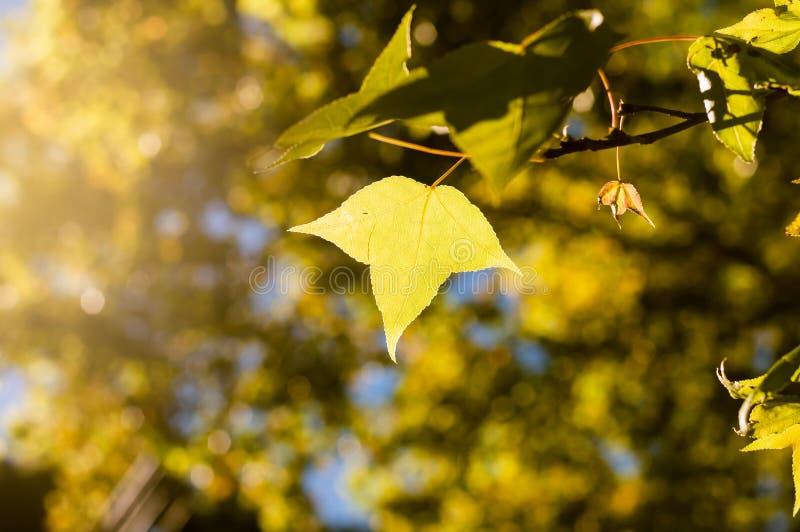 τα πράσινα ή κίτρινα φύλλα σφενδάμου στο υπόβαθρο μπλε ουρανού μεταξύ του SU στοκ φωτογραφίες