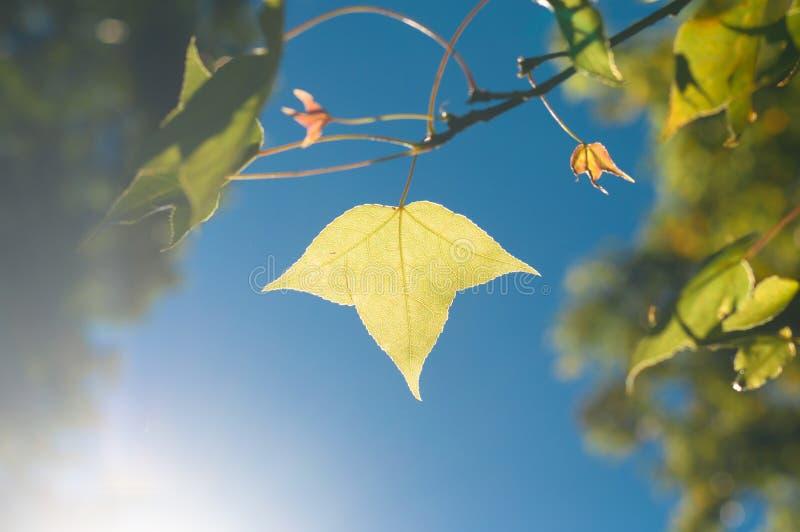 τα πράσινα ή κίτρινα φύλλα σφενδάμου στο υπόβαθρο μπλε ουρανού μεταξύ του SU στοκ φωτογραφίες με δικαίωμα ελεύθερης χρήσης