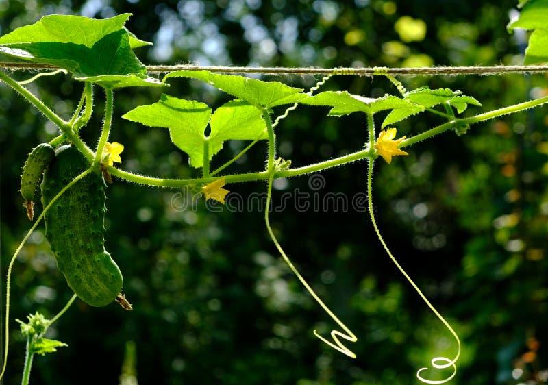 Τα πράσινα νέα αγγούρια κρεμούν στον κήπο στοκ φωτογραφίες με δικαίωμα ελεύθερης χρήσης