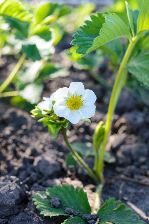 Τα πράσινα φύλλα φραουλών με τα λουλούδια και τους οφθαλμούς αυξάνονται στον κήπο την άνοιξη σπορόφυτο Ανθίζοντας φυτά στο έδαφος στοκ εικόνες με δικαίωμα ελεύθερης χρήσης