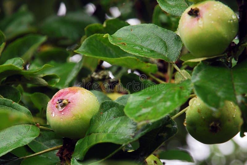 Τα πράσινα unripe μήλα ωριμάζουν στον κλάδο κάτω από τη βροχή στοκ φωτογραφίες