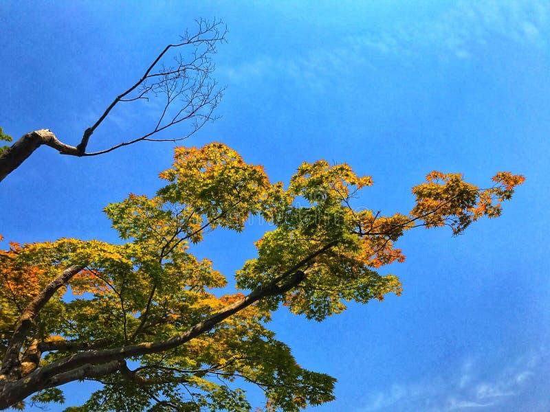 Τα πράσινων και κόκκινων φύλλα σφενδάμου δέντρων σφενδάμνου, με το μπλε ουρανό στο υπόβαθρο στοκ εικόνα με δικαίωμα ελεύθερης χρήσης