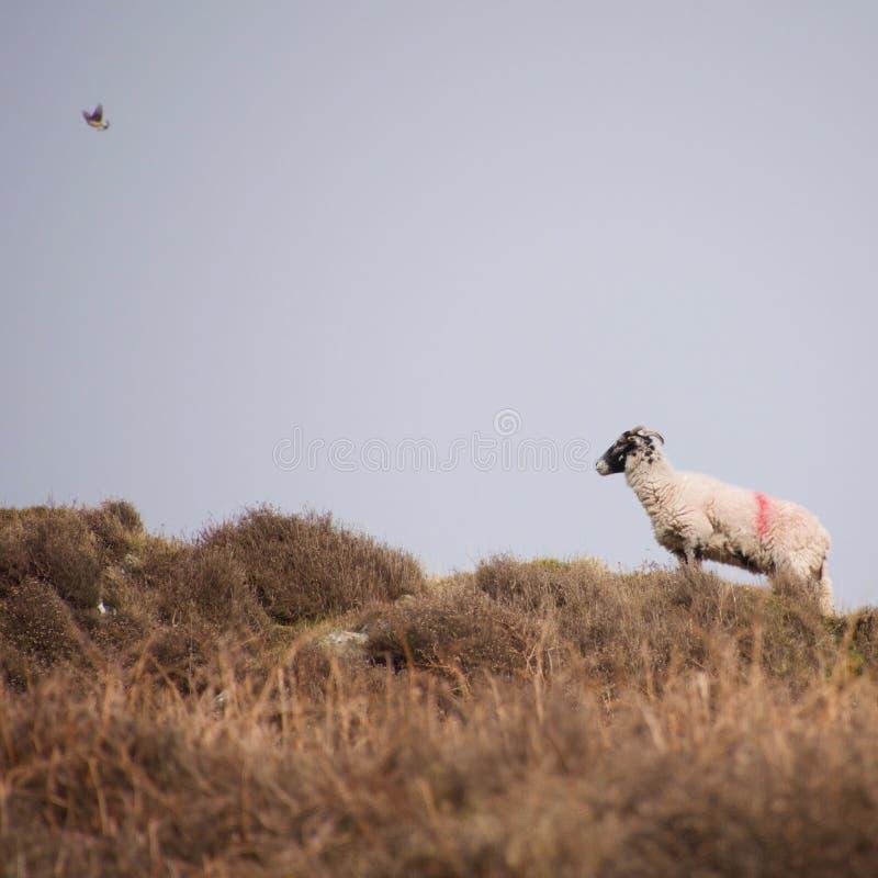 Τα πρόβατα δένουν ενάντια στον ορίζοντα με ένα πετώντας πουλί στοκ φωτογραφία με δικαίωμα ελεύθερης χρήσης